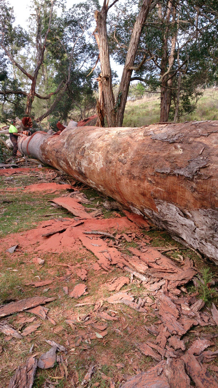 giant red cedar fallen in the big scrub